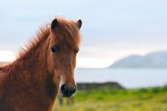 Исландский портрет лошади Стоковые Фото