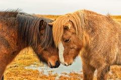 2 исландских лошади нюхают Стоковое Изображение