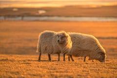 2 исландских овцы в свете захода солнца Иконический символ Исландии fa Стоковые Изображения