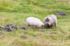 2 исландских овцы на луге в Исландии Стоковое фото RF