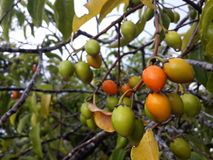 Испанская вишня, плодоовощ мушмулы или пули деревянный Стоковое фото RF