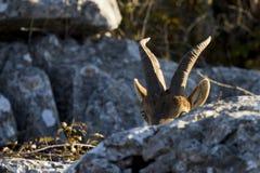 Испанская одичалая коза Стоковая Фотография RF