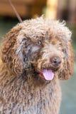 Испанская собака воды стоковые изображения