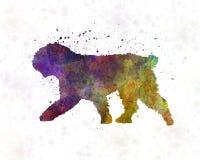 Испанская собака воды в акварели Стоковое Изображение RF