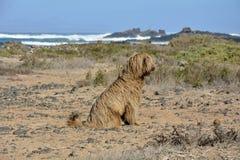 Испанская собака воды Стоковая Фотография
