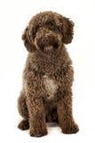 Испанская собака воды стоковые фотографии rf