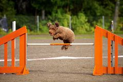 Испанская собака воды Стоковое Изображение RF