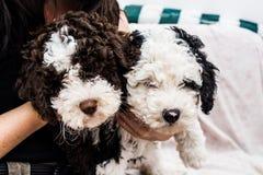 Испанская собака воды стоковая фотография rf