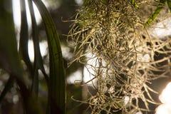 Испанский мох, красивая предпосылка природы на заходе солнца Стоковое Изображение RF