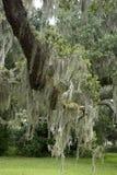 Испанский мох на лимбе дуба Стоковые Изображения