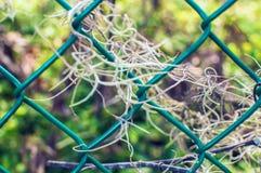 Испанский мох - организм usneoides Tillandsia photosynthesize в изображении фото шаблона текстуры деревьев стоковое изображение rf