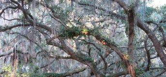 Испанский мох Стоковое Изображение RF