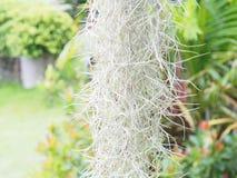 Испанский мох Стоковые Изображения RF