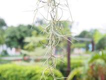 Испанский мох Стоковое Фото