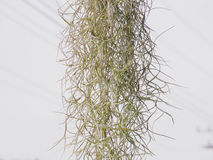 Испанский мох Стоковое Изображение