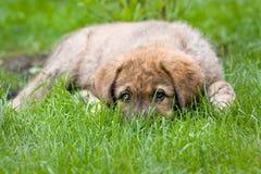 испанский язык mastiff стоковые фотографии rf