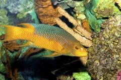 Испанский Hogfish Стоковые Изображения RF