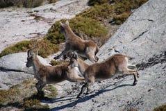 Испанский Ibex (Capra Pyrenaica) Стоковое Изображение