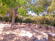 Испанское оливковое дерево Стоковые Изображения