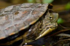 Испанское leprosa Mauremys черепахи пруда стоковая фотография