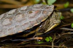 Испанское leprosa Mauremys черепахи пруда стоковые изображения