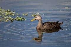 Испещрянная утка в болоте Флориды Стоковое Изображение RF