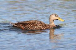 Испещрянная утка в болотистых низменностях Флориды Стоковые Фотографии RF