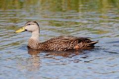Испещрянная утка в болотистых низменностях Флориды Стоковое фото RF