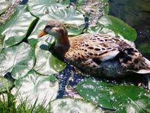 Испещрянная утка, кряква Стоковые Изображения RF