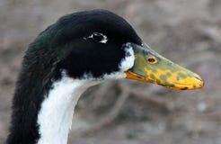 Испещрянная утка на дворе птицы Стоковые Изображения RF