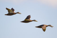 Испещрянная утка (fulvigula Anas) Стоковая Фотография RF