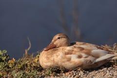Испещрянная утка, fulvigula Anas Стоковая Фотография RF