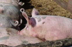 Испещрянные и розовые свиньи на соломе в конюшне Стоковые Изображения