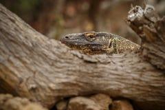 Исполинский дракон komodo в красивой среде обитания природы Стоковая Фотография RF