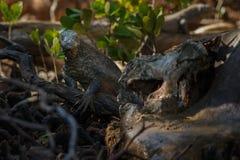 Исполинский дракон komodo в красивой среде обитания природы Стоковое Изображение
