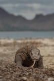 Исполинский дракон komodo в красивой среде обитания природы Стоковые Изображения RF