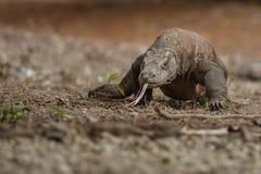 Исполинский дракон komodo в красивой среде обитания природы Стоковое фото RF