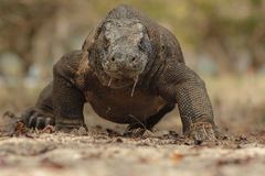 Исполинский дракон komodo в красивой среде обитания природы Стоковые Фотографии RF