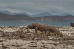 Исполинский дракон komodo в красивой среде обитания природы Стоковая Фотография