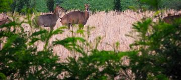 Испражняться женские олени голубого быка Nilgai в естественной среде обитания живой природы стоковые изображения