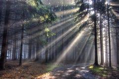 испускает лучи coniferous бог пущи тумана Стоковое Фото