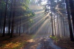 испускает лучи coniferous бог пущи тумана Стоковое Изображение