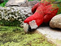 Испытывающая жажду красная ара Стоковая Фотография RF