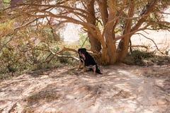 Испытывающая жажду собака под тенью дерева Стоковая Фотография