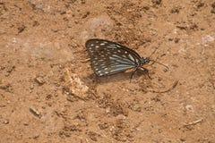 Испытывающая жажду бабочка Стоковая Фотография