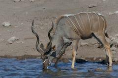Испытывающее жажду Kudu Стоковое Изображение