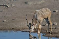 Испытывающее жажду Kudu Стоковое Фото