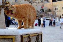 Испытывающий жажду кот имбиря стоковые фото