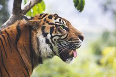 Испытывающий жажду тигр Стоковое фото RF