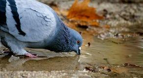 Испытывающий жажду голубь Стоковые Изображения RF